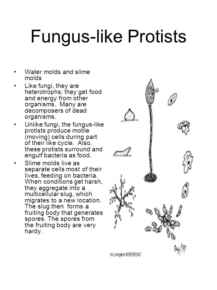 Fungus-like Protists Water molds and slime molds