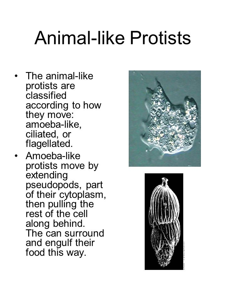 Animal-like Protists The animal-like protists are classified according to how they move: amoeba-like, ciliated, or flagellated.