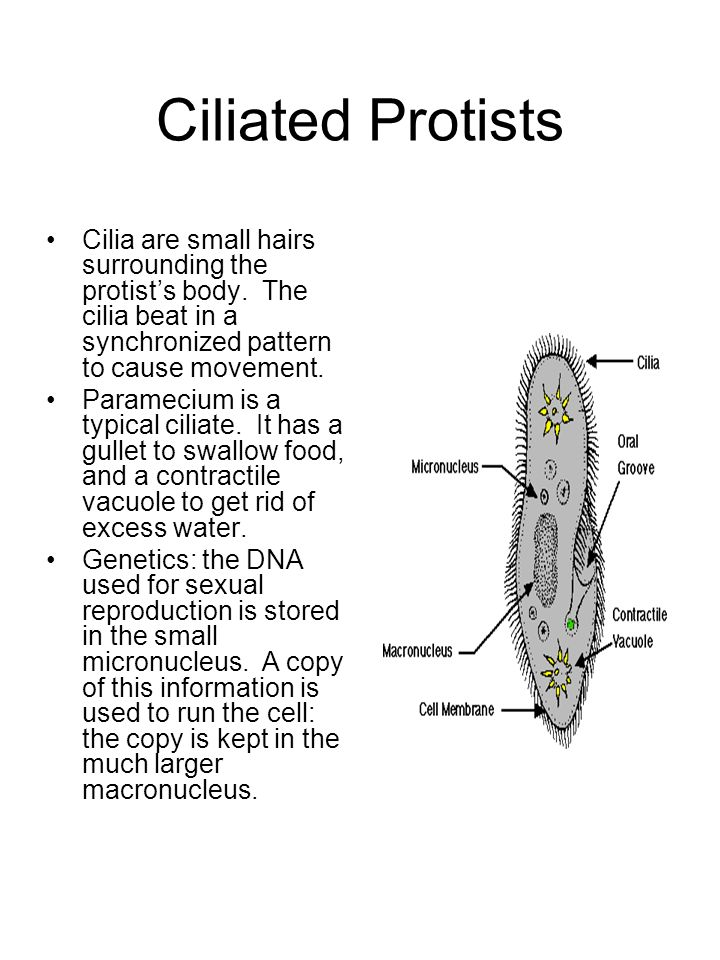 Ciliated Protists Cilia are small hairs surrounding the protist's body. The cilia beat in a synchronized pattern to cause movement.