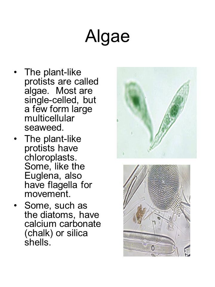 Algae The plant-like protists are called algae. Most are single-celled, but a few form large multicellular seaweed.