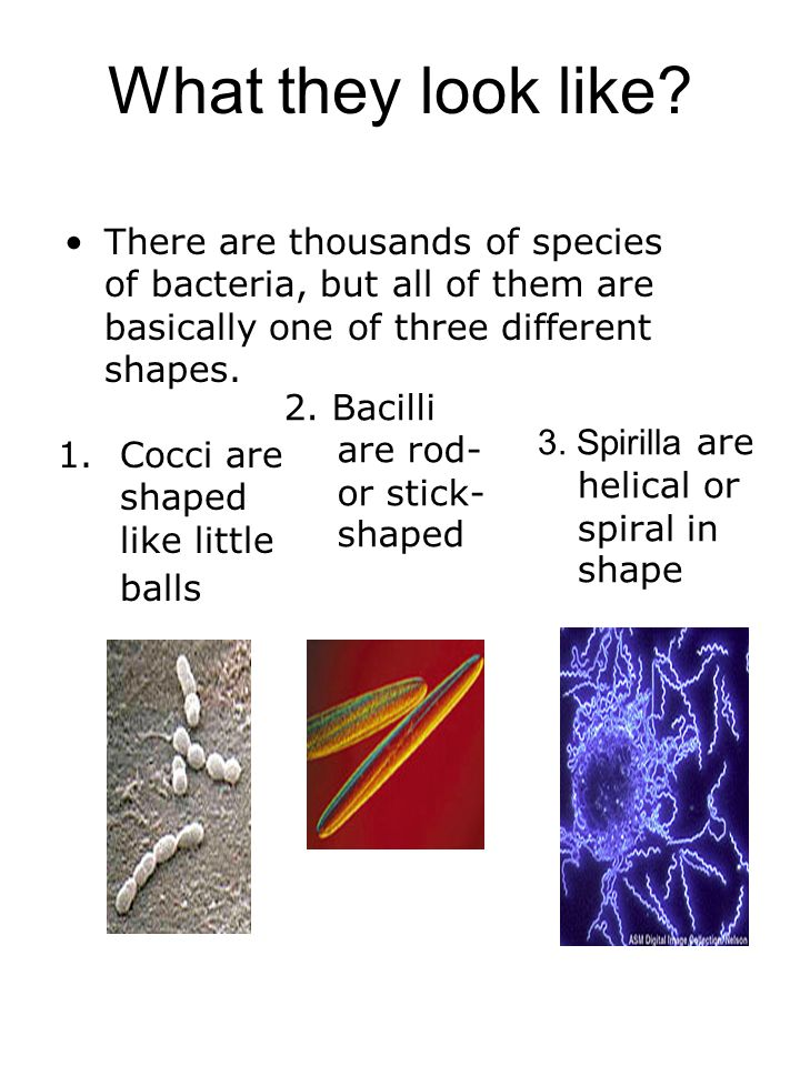 What they look like There are thousands of species of bacteria, but all of them are basically one of three different shapes.