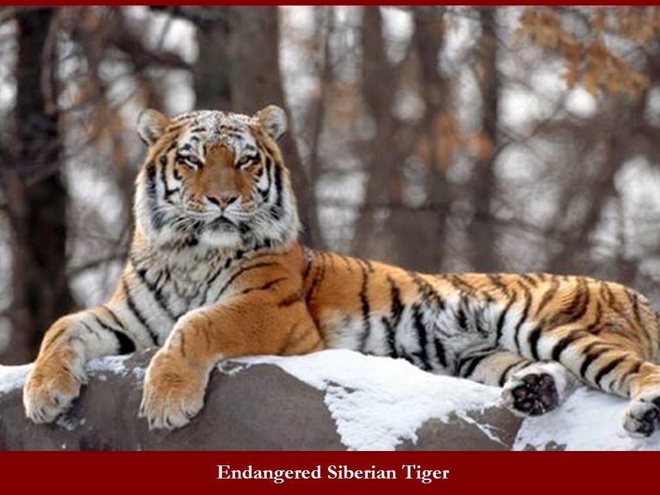Endangered Siberian Tiger