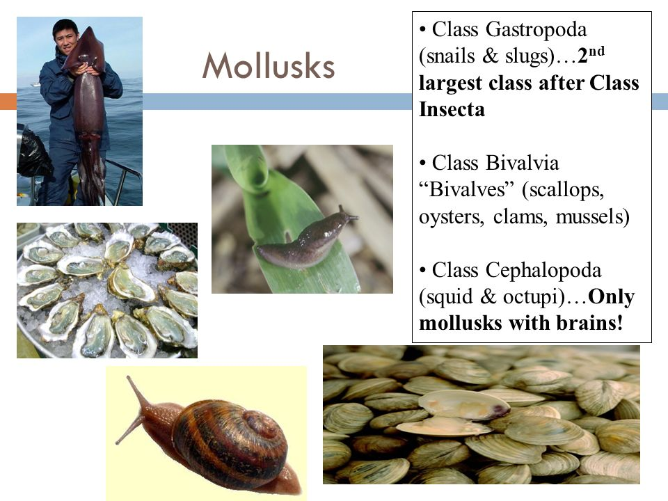 Class Gastropoda (snails & slugs)…2nd largest class after Class Insecta