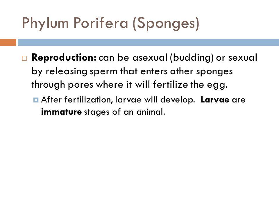 Phylum Porifera (Sponges)