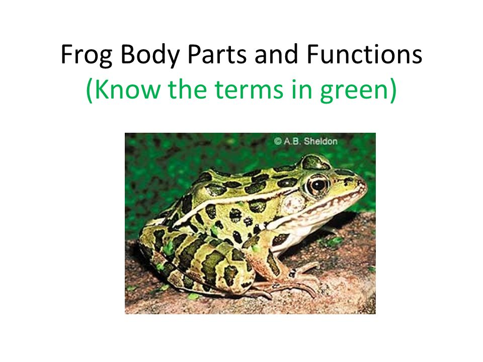 Frog Body Parts and Functions (Know the terms in green)