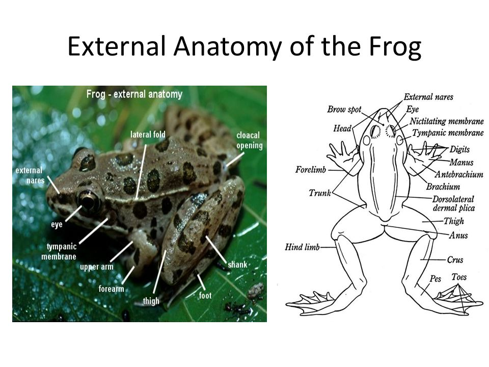External Anatomy of the Frog