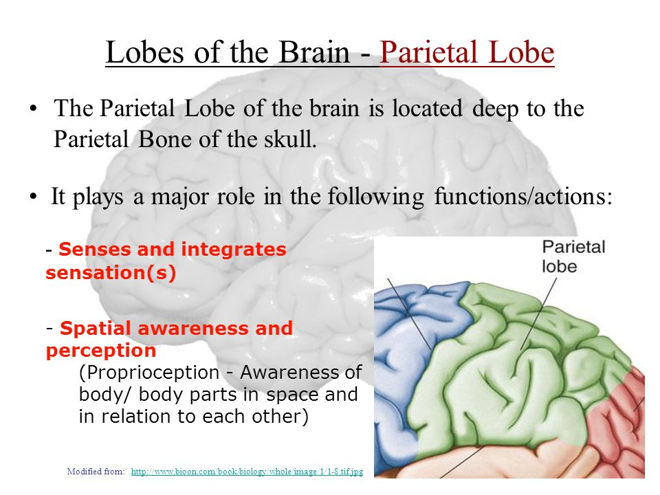 Lobes of the Brain - Parietal Lobe