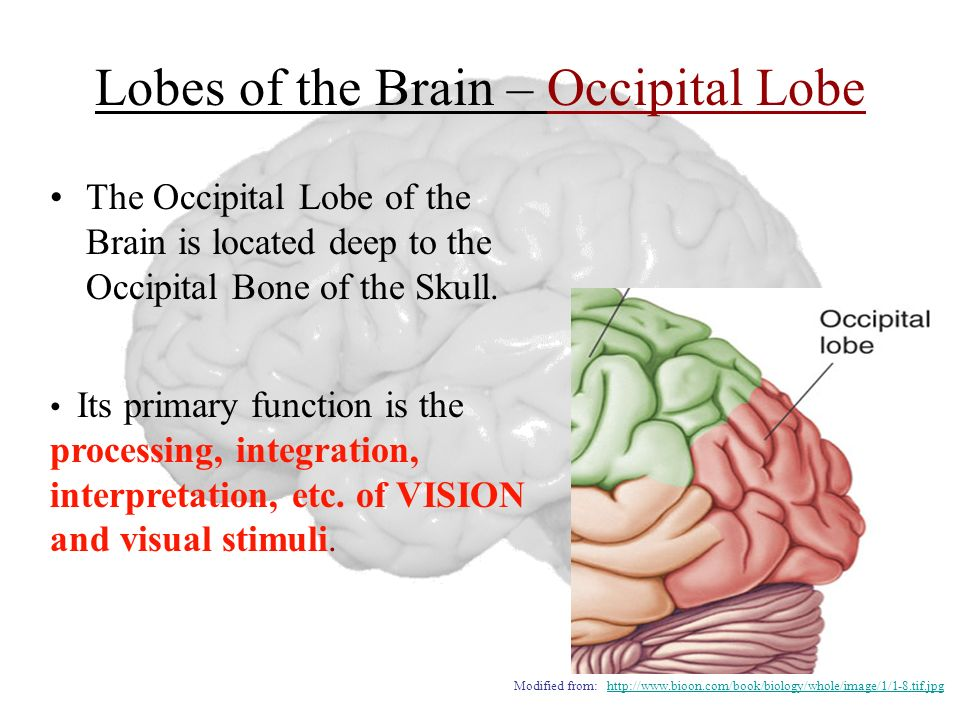 Lobes of the Brain – Occipital Lobe