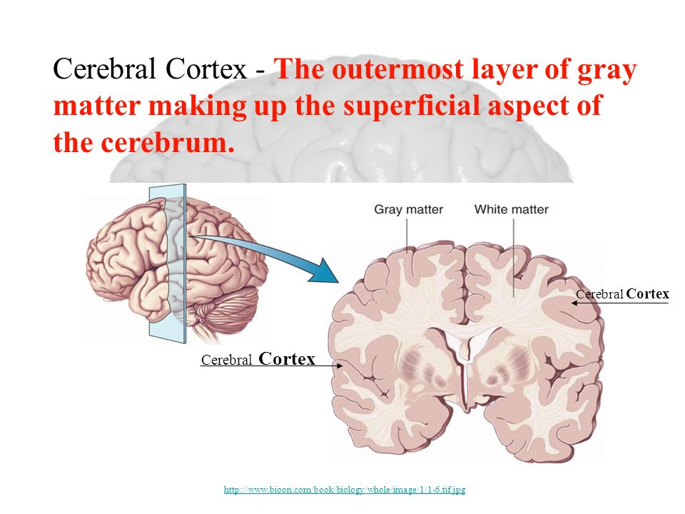 Cerebral Cortex - The outermost layer of gray matter making up the superficial aspect of the cerebrum.