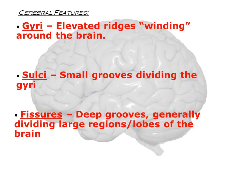 Cerebral Features: Gyri – Elevated ridges winding around the brain. Sulci – Small grooves dividing the gyri.