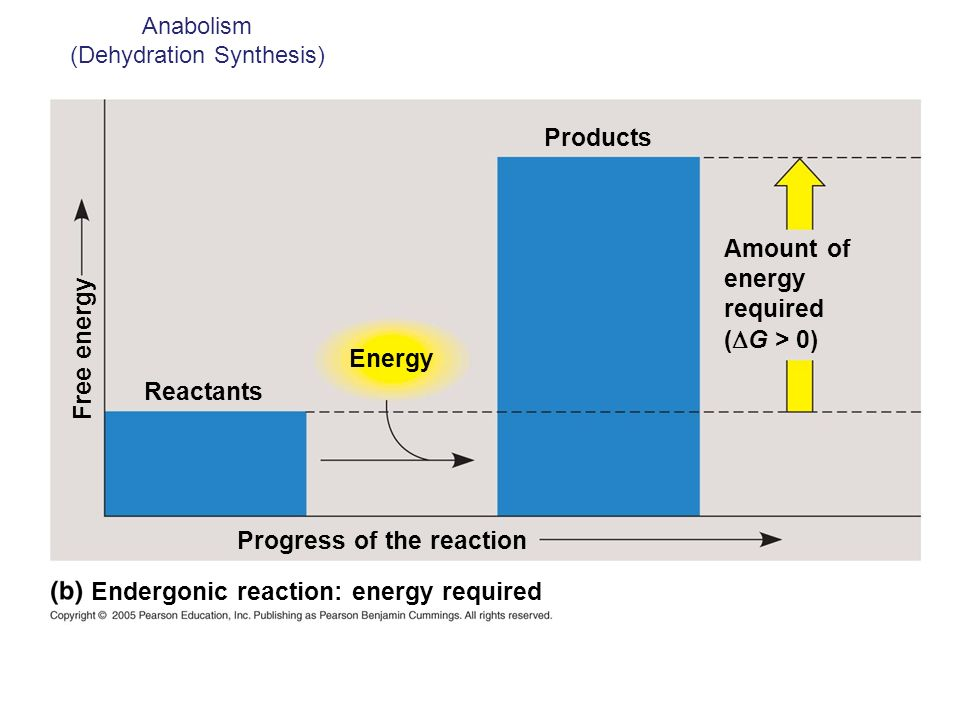 Anabolism (Dehydration Synthesis)