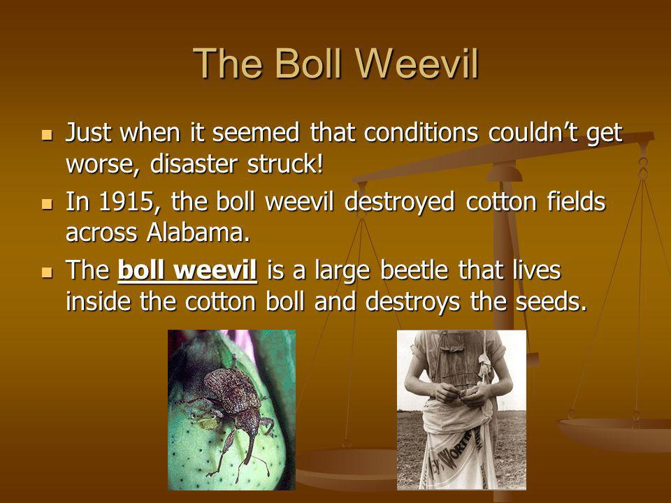 The Boll Weevil Just when it seemed that conditions couldn't get worse, disaster struck!