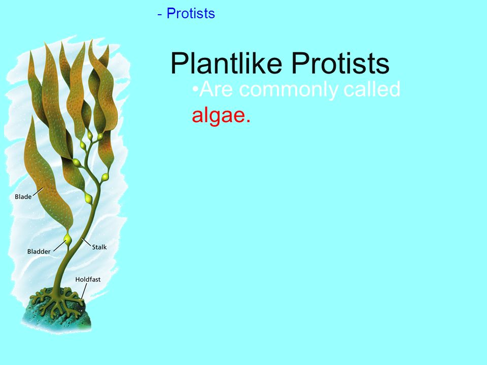 - Protists Plantlike Protists Are commonly called algae.
