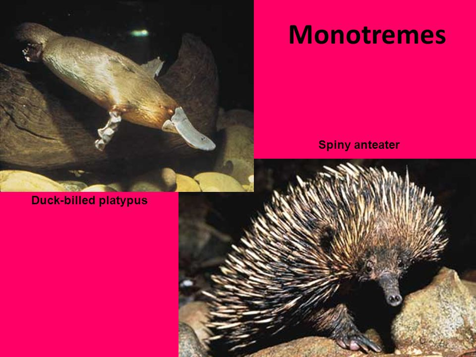 Monotremes Spiny anteater Duck-billed platypus