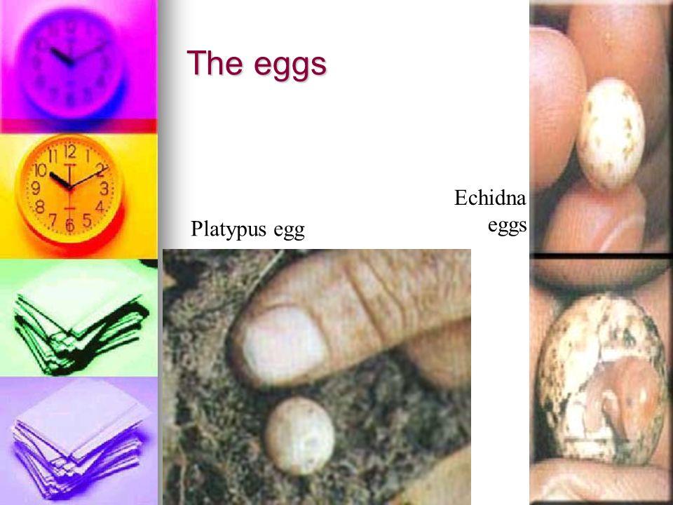 The eggs Echidna eggs Platypus egg