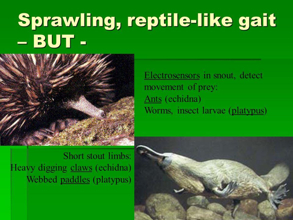 Sprawling, reptile-like gait – BUT -