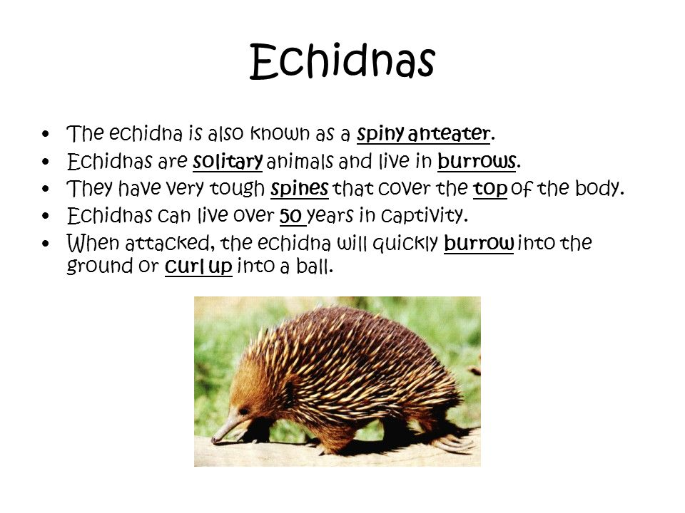 Echidnas The echidna is also known as a spiny anteater.