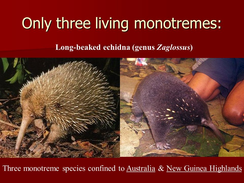 Only three living monotremes: