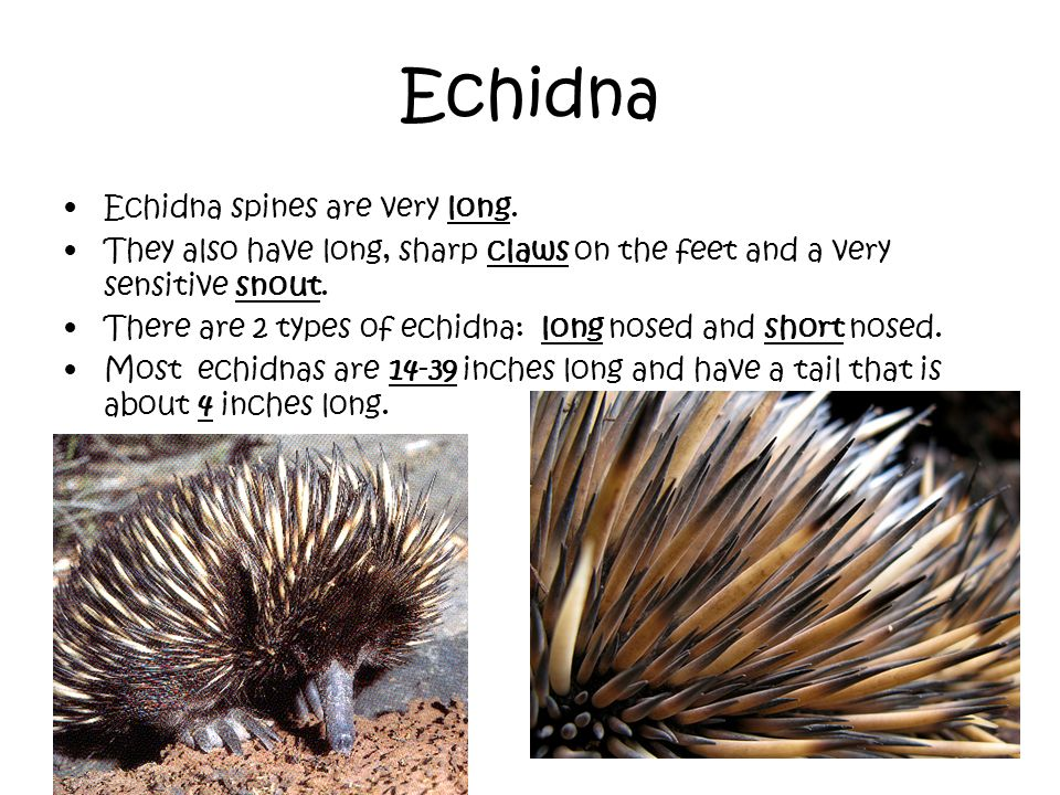 Echidna Echidna spines are very long.