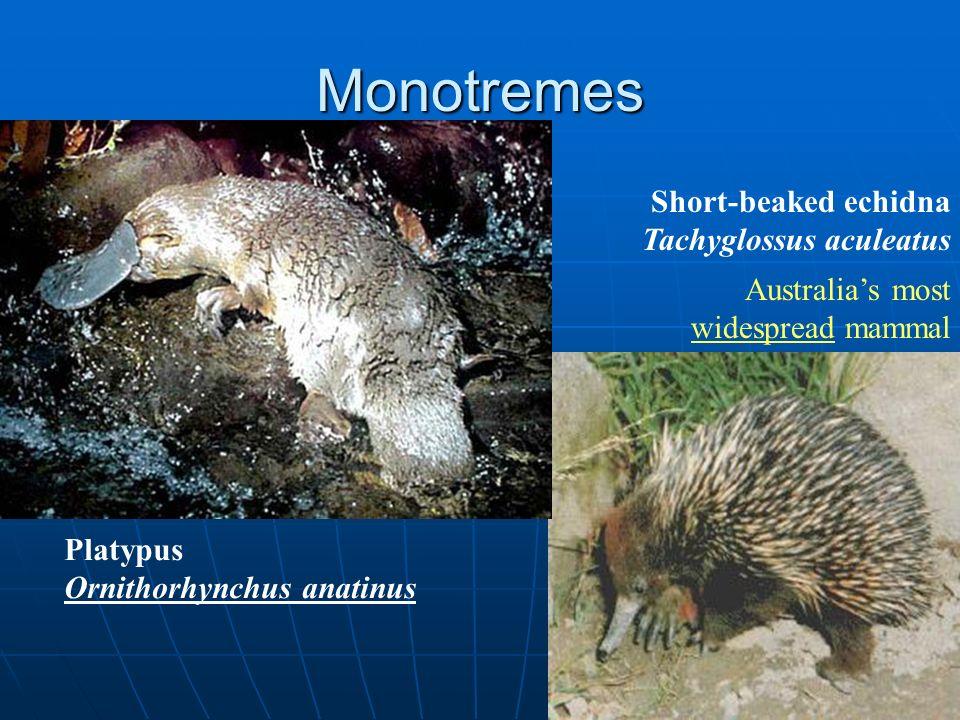Monotremes Short-beaked echidna Tachyglossus aculeatus