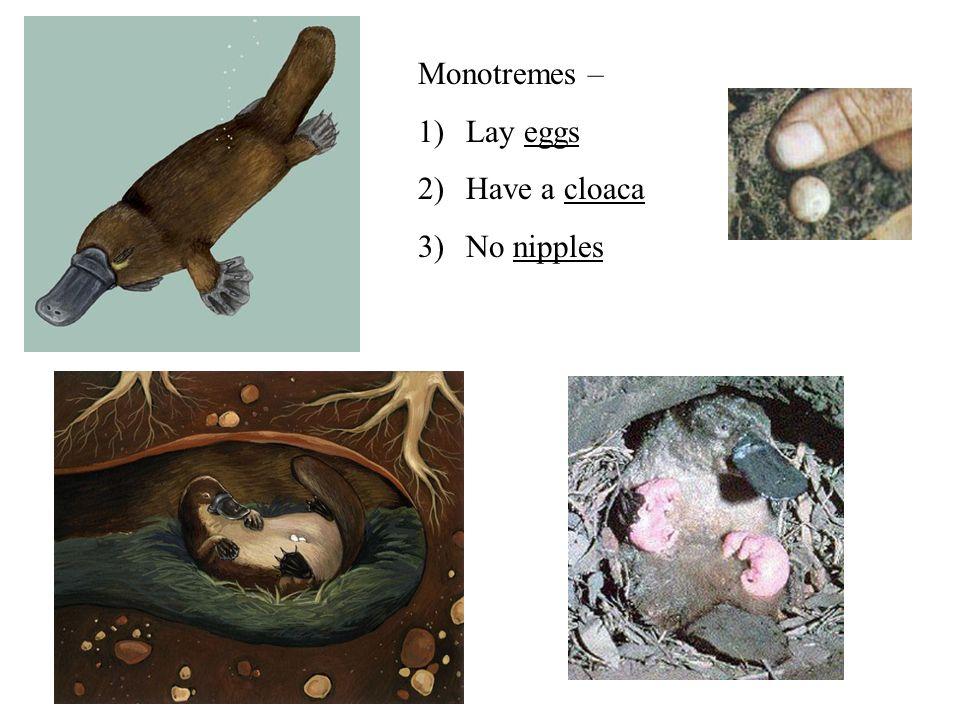 Monotremes – Lay eggs Have a cloaca No nipples
