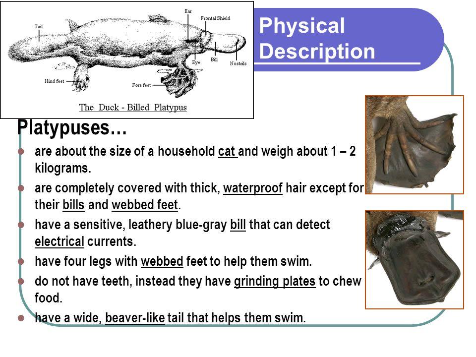 Physical Description Platypuses…