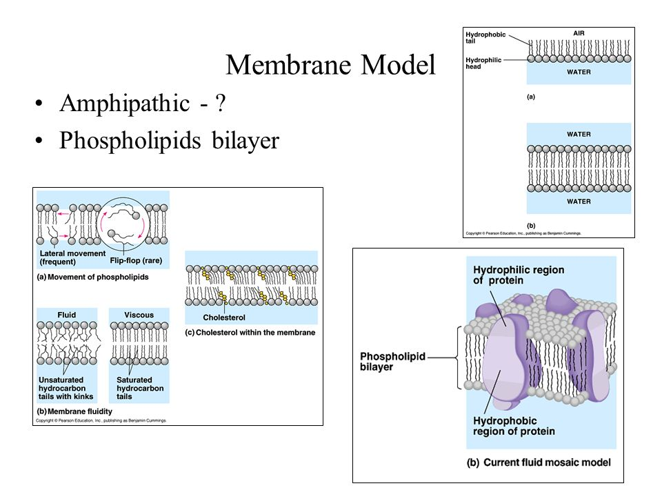 Membrane Model Amphipathic - Phospholipids bilayer