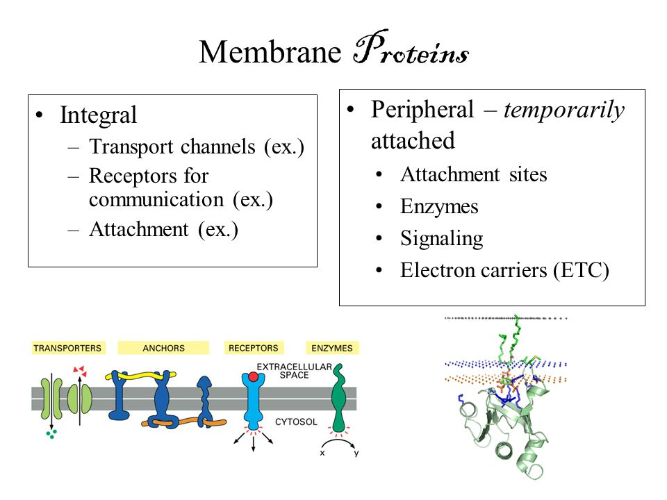 Membrane Proteins Peripheral – temporarily attached Integral