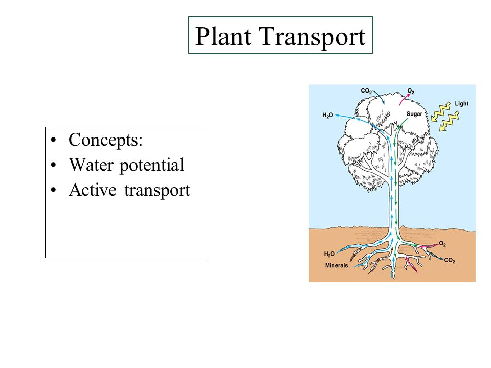 Plant Transport Concepts: Water potential Active transport