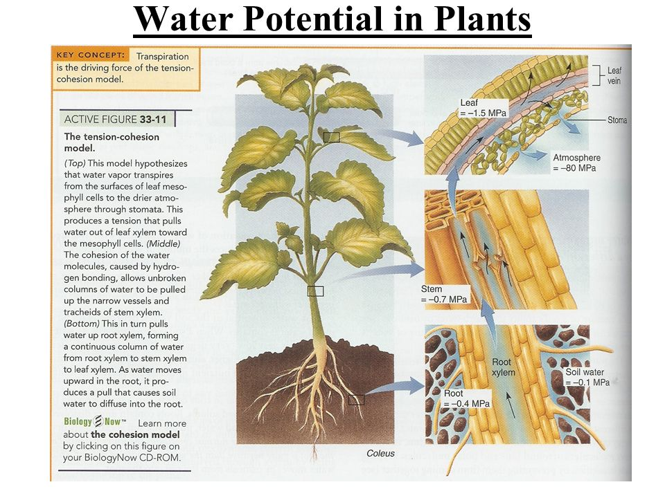 Water Potential in Plants