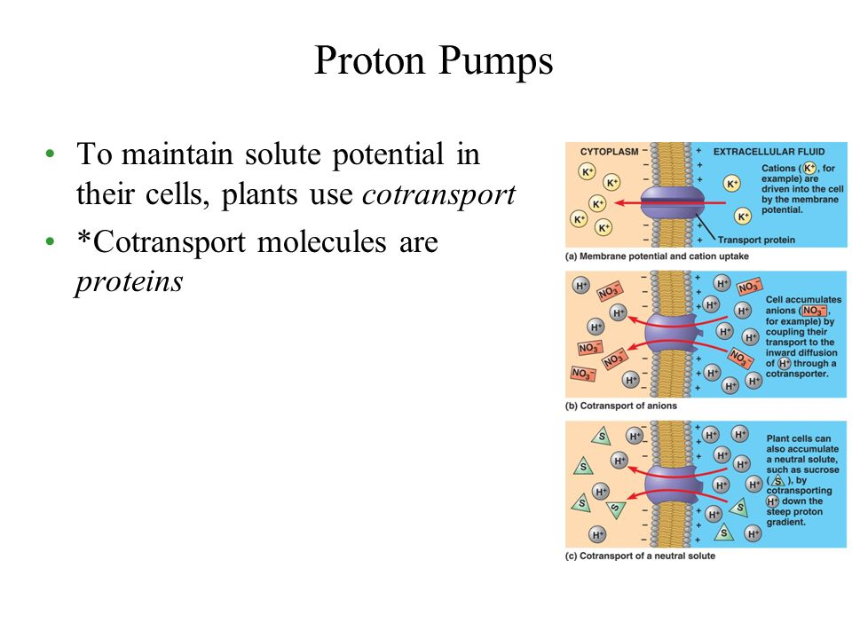 Proton Pumps To maintain solute potential in their cells, plants use cotransport.