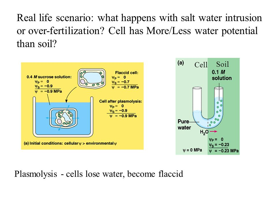 Real life scenario: what happens with salt water intrusion or over-fertilization Cell has More/Less water potential than soil