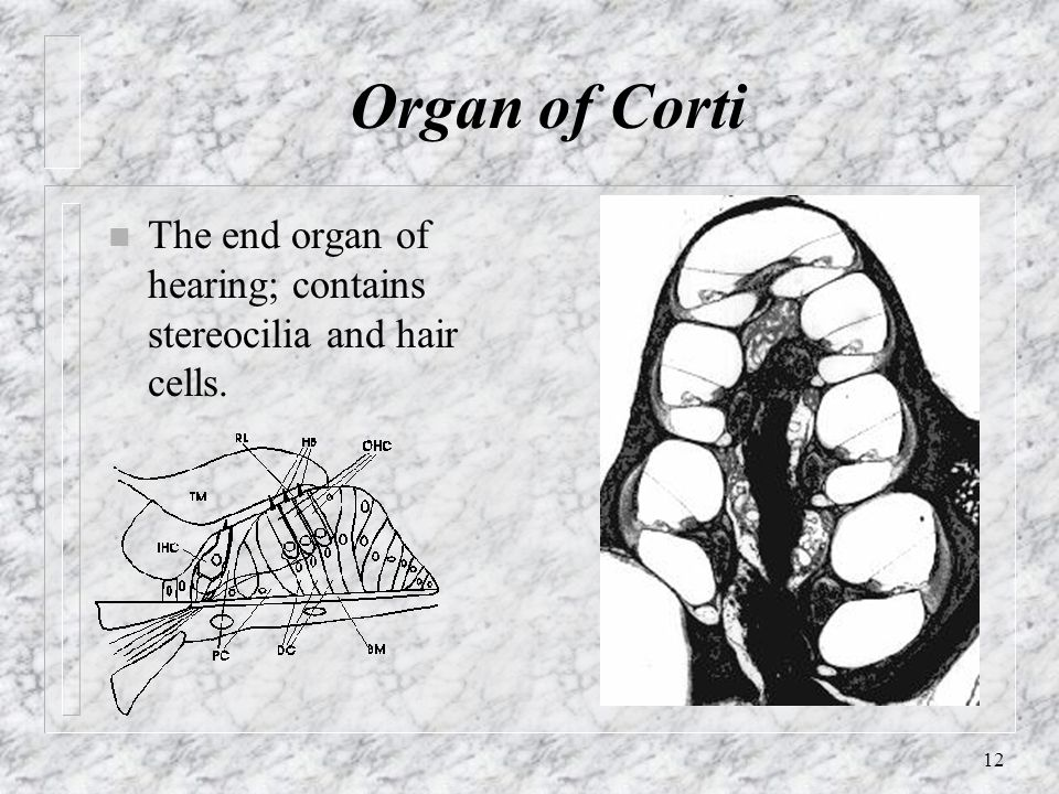 Organ of Corti The end organ of hearing; contains stereocilia and hair cells.