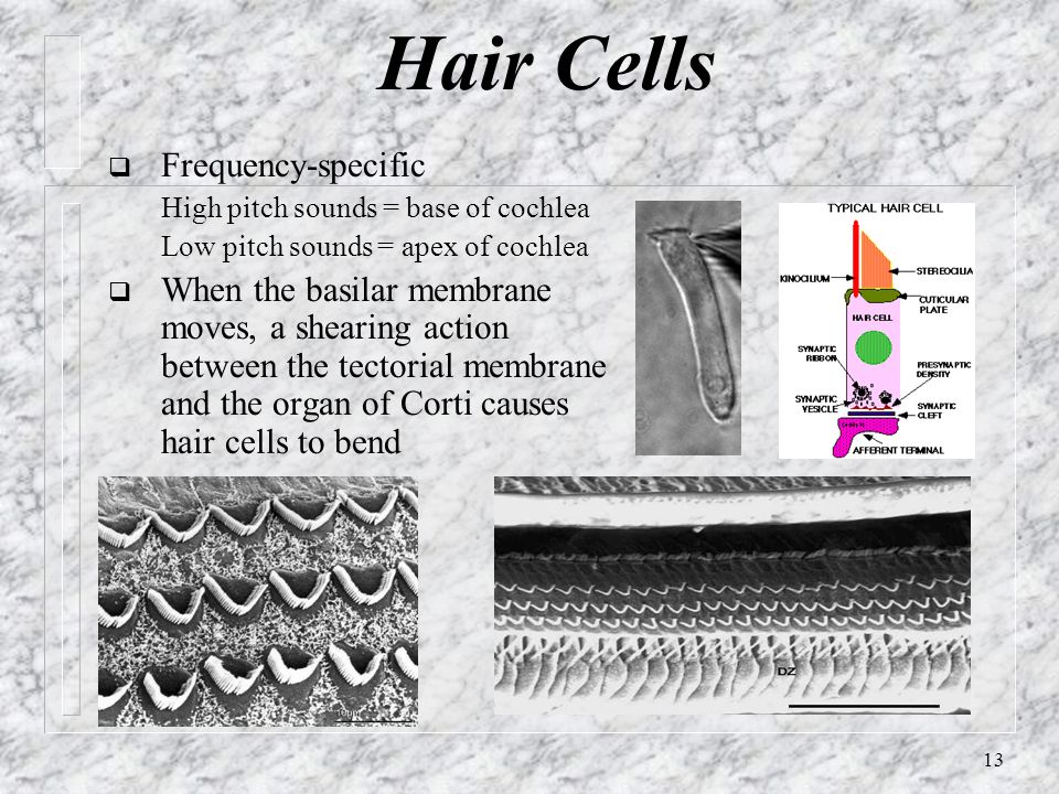 Hair Cells Frequency-specific