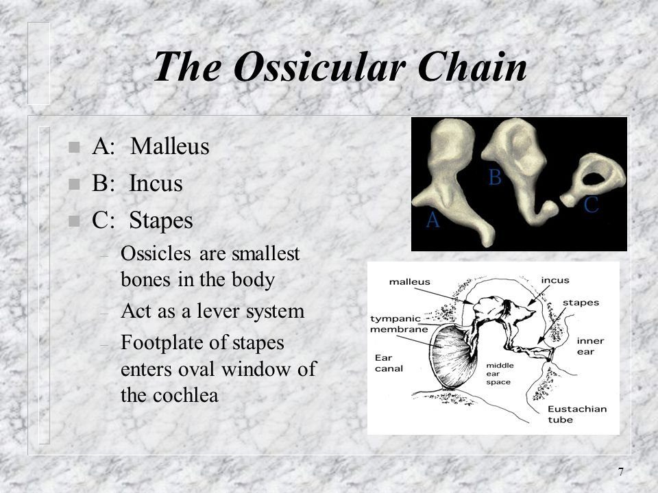 The Ossicular Chain A: Malleus B: Incus C: Stapes