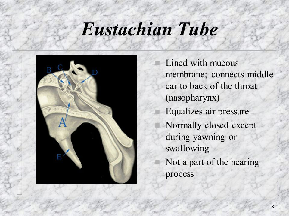 Eustachian Tube Lined with mucous membrane; connects middle ear to back of the throat (nasopharynx)