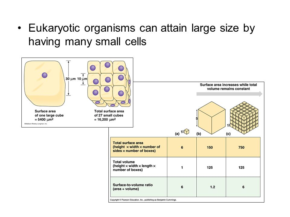 Eukaryotic organisms can attain large size by having many small cells