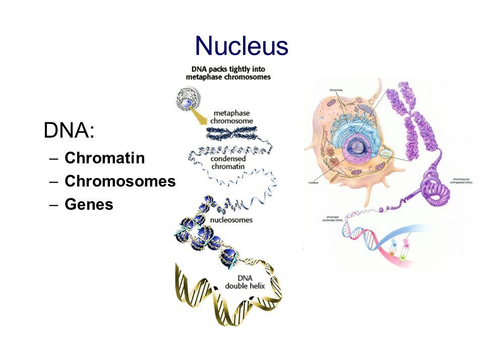 Nucleus DNA: Chromatin Chromosomes Genes