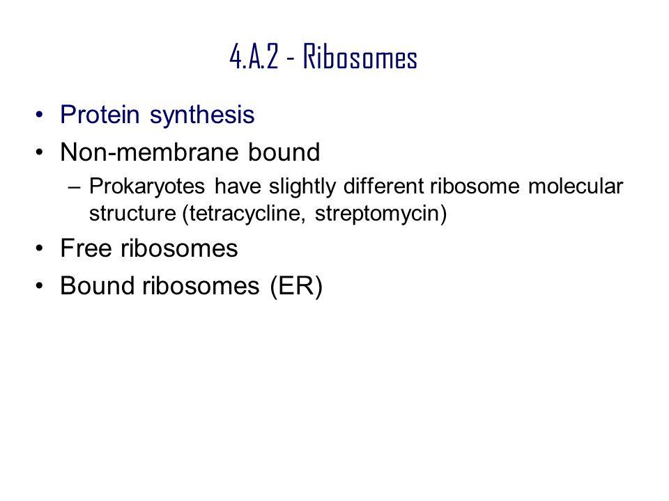 4.A.2 - Ribosomes Protein synthesis Non-membrane bound Free ribosomes