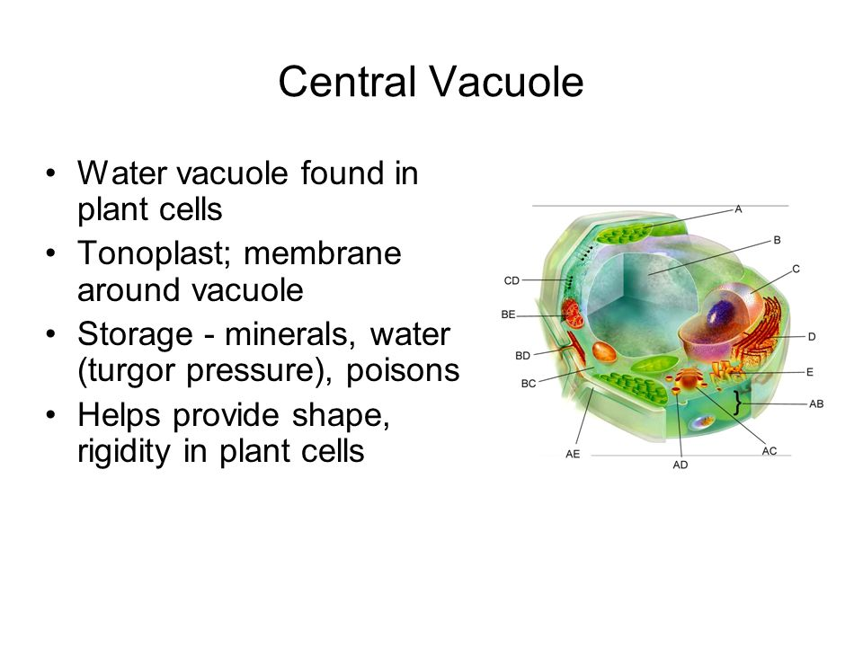 Central Vacuole Water vacuole found in plant cells