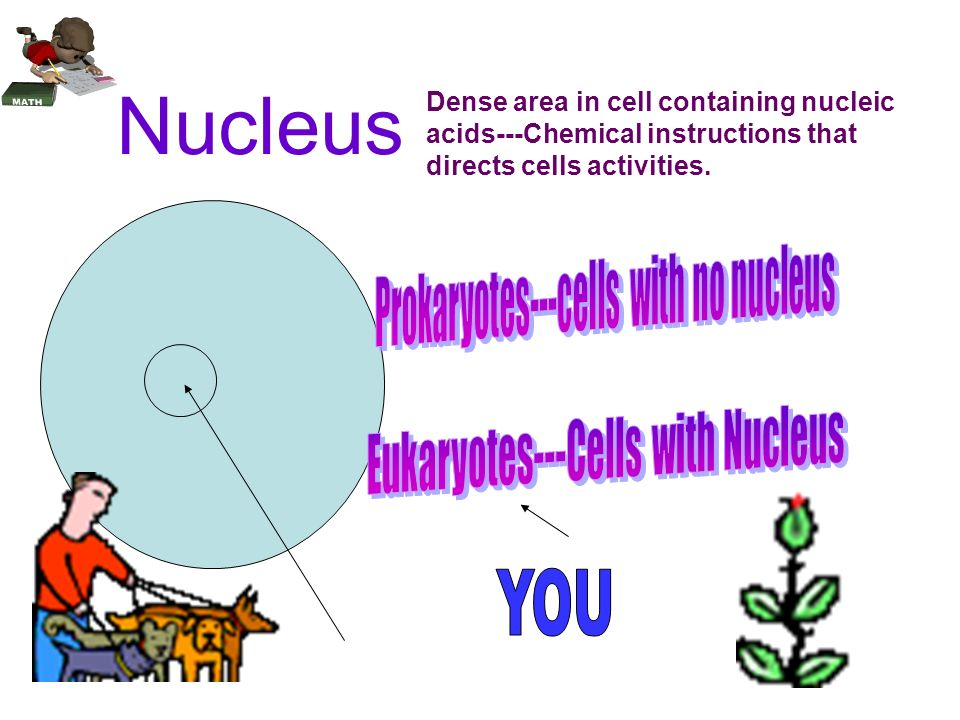 Dense area in a cell that contains nucleic acids---chemical instructions that direct cell's activities