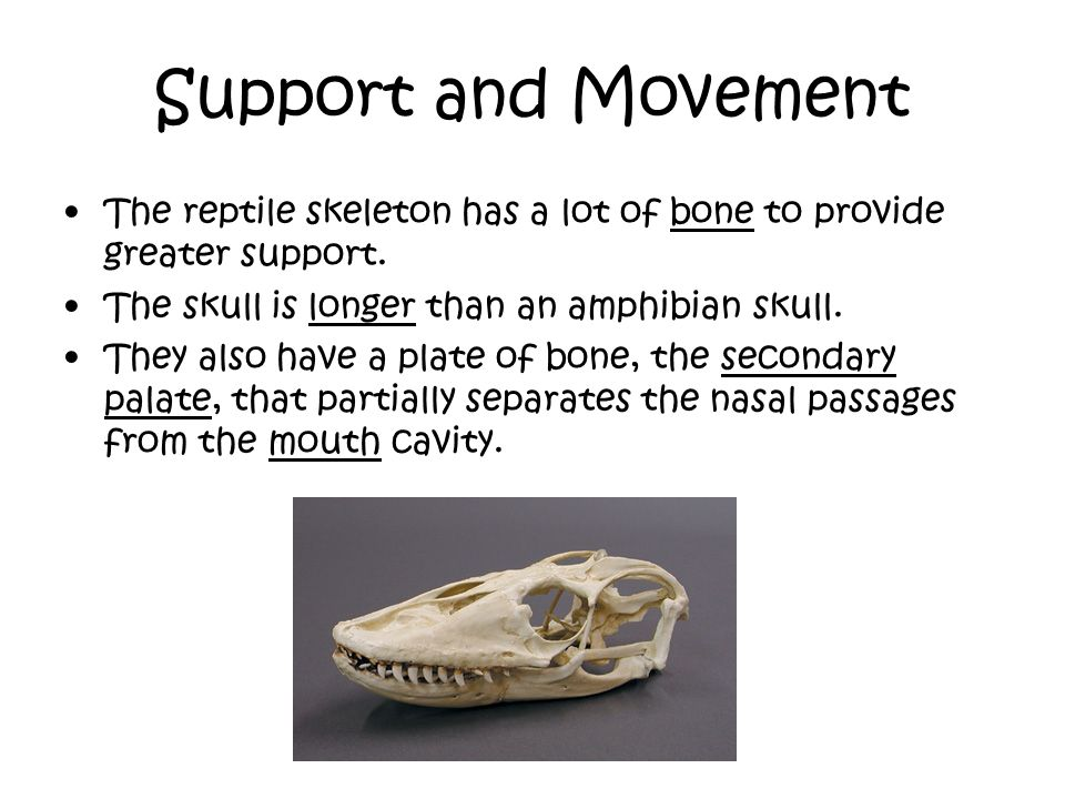 Support and Movement The reptile skeleton has a lot of bone to provide greater support. The skull is longer than an amphibian skull.