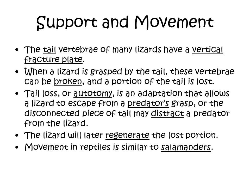 Support and Movement The tail vertebrae of many lizards have a vertical fracture plate.