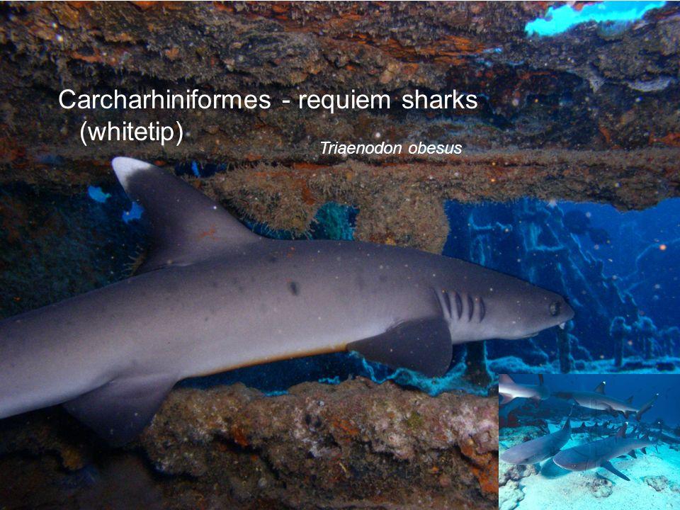 Carcharhiniformes - requiem sharks (whitetip)