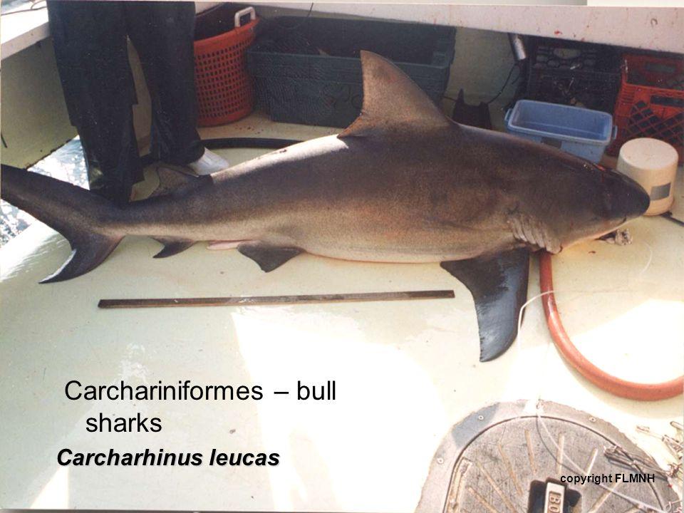 Carchariniformes – bull sharks
