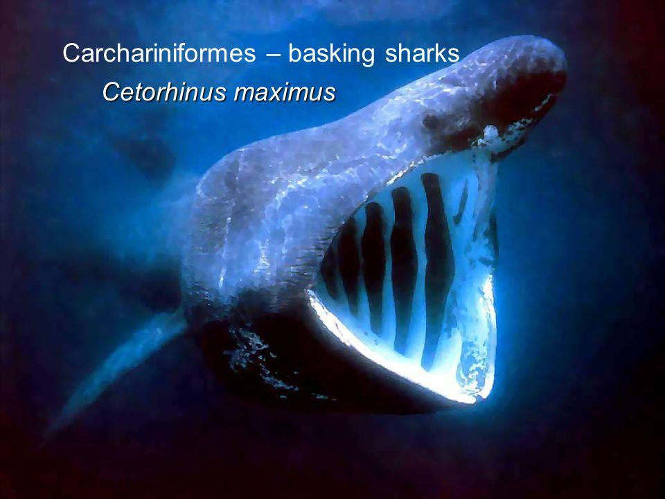 Carchariniformes – basking sharks