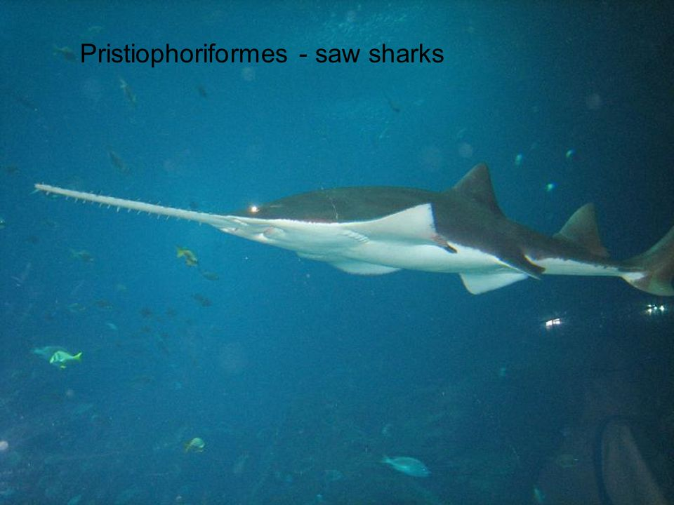 Pristiophoriformes - saw sharks