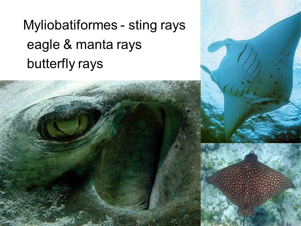 Myliobatiformes - sting rays