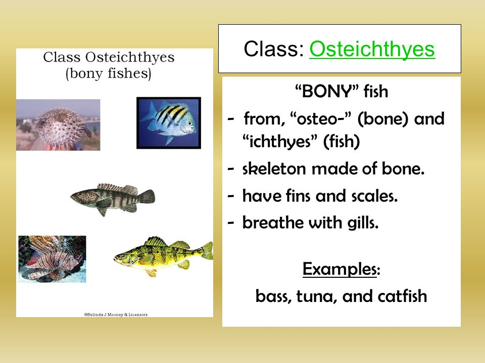 Subphylum vertebrata ppt video online download for Examples of fish