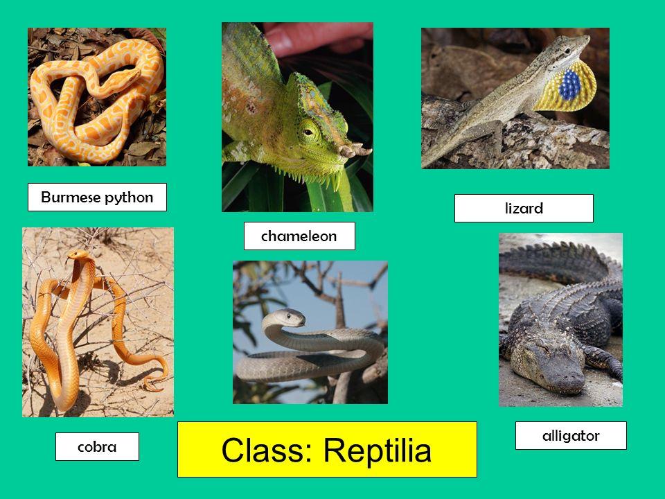 Burmese python lizard chameleon Class: Reptilia alligator cobra